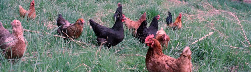 La basse cour toujours vos poules de jardin pr s de brest et dans tout le finist re - Avoir des poules dans son jardin ...
